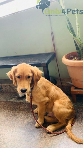 Golden Retriever male  Available  4 months