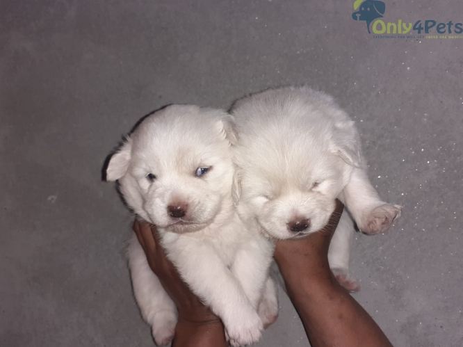 Show quality pom pair sale