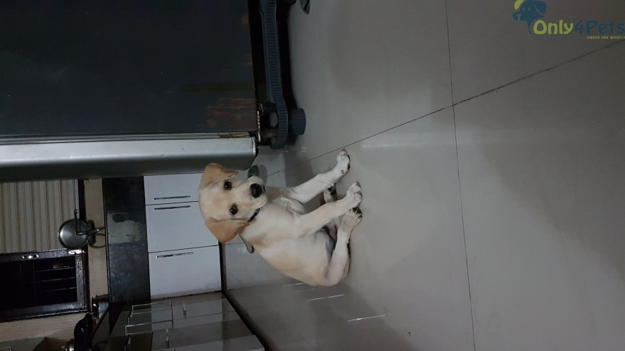 2 month old golden male labrador puppy. Vaccinated and dewormed