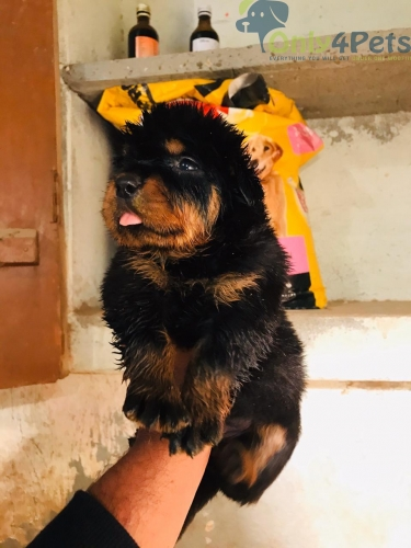 Rottweiler female with paper