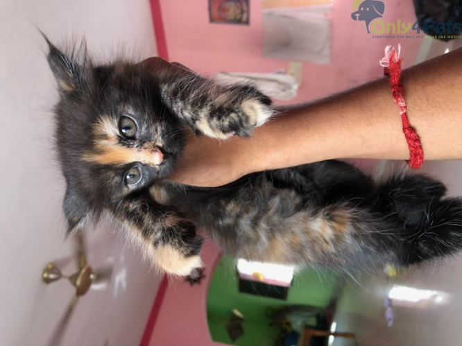 Perisan + British Short Hair Mix breed kittens