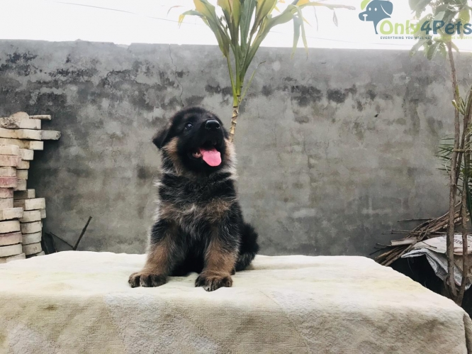 gsd male female available
