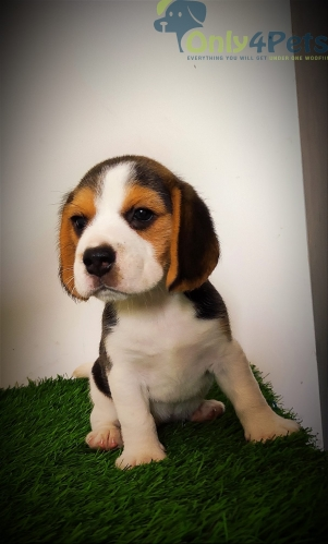 top quality  female beagle puppy