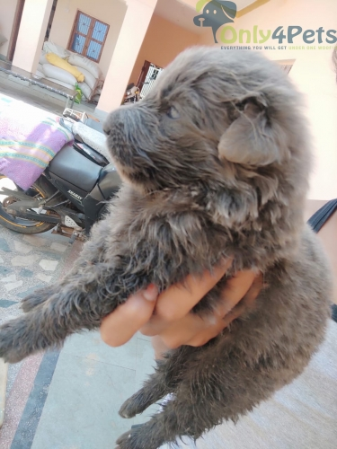Top quality grey colour jarman safed male puppy available