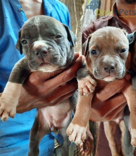 Am bully poket size pair available
