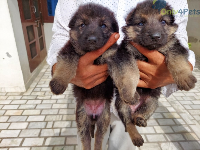 Top quwLty gsd female pup sale ludhiana ????????