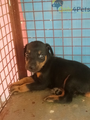 Doberman Puppy  male Available