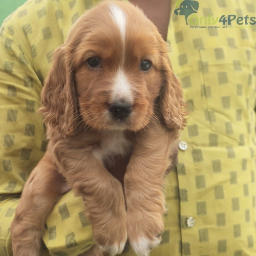 DARK GOLDEN COLOUR COCKER SPANIEL MALE available for sale