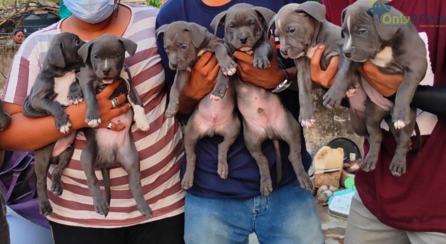 Top quality am bully male female puppies available