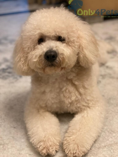 Free of cost mating poodle import breed