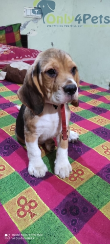 BEAGLE MALE PUPPY FOR SELL