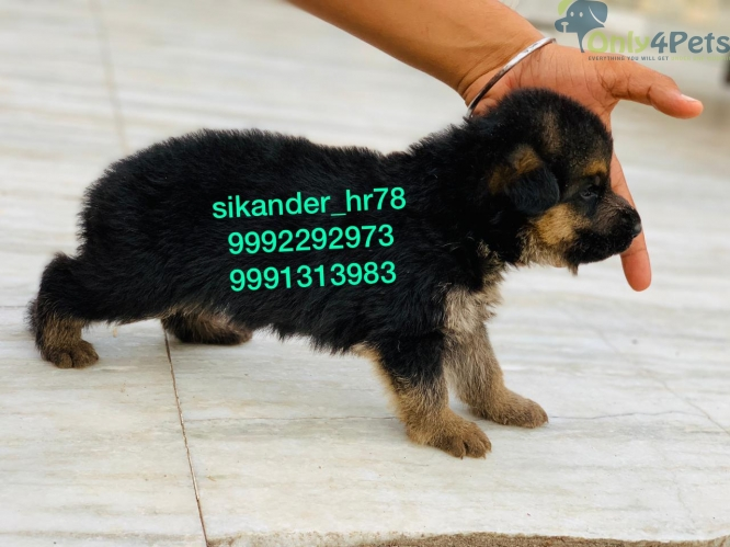 top quality gsd male full show quality dark colour