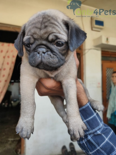Super quality pug male puppy available
