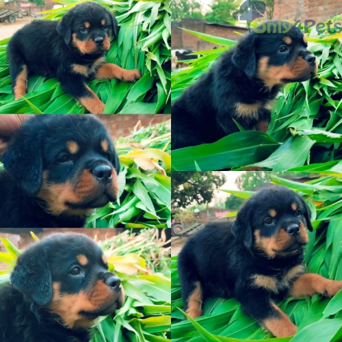 Top quality Rottweiler female available