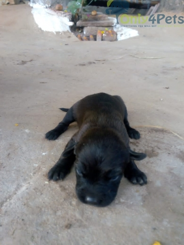 lab letter for sell 4male 5 female  all pup black