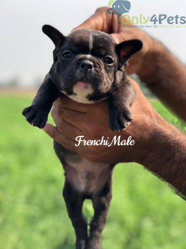 French Bulldog Black colour Male puppy Avble Delivery avble