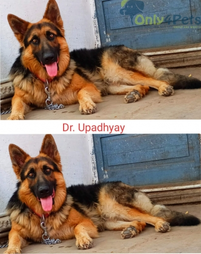 German Shepherd Proven Stud Available for sale
