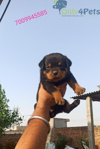 Rottweiler for sale top class