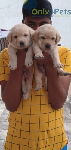 LAB MALE FEMALE PUPPY'S AVAILABLE
