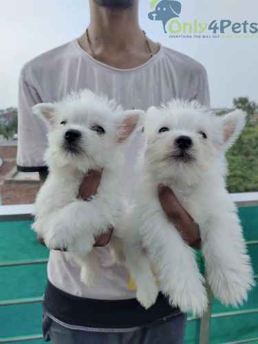 WEST HIGHLEND WHITE TERRIER???? Male female puppy available
