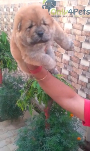 Top class extraordinary Chow Chow male and female puppy available