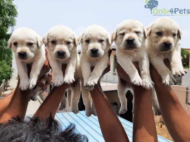 4  lab male golden clr extra onrey top quality