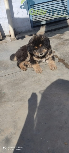 Gaddi male puppy available for sale