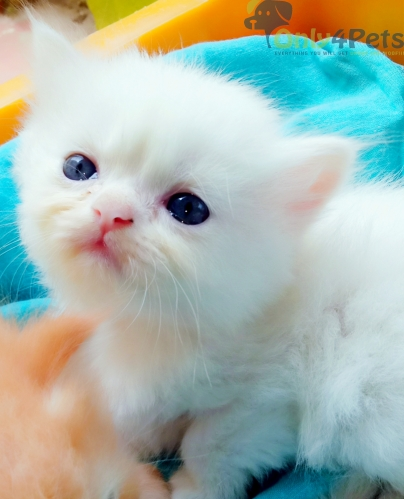 Beautiful Persian kittens available for your loving home