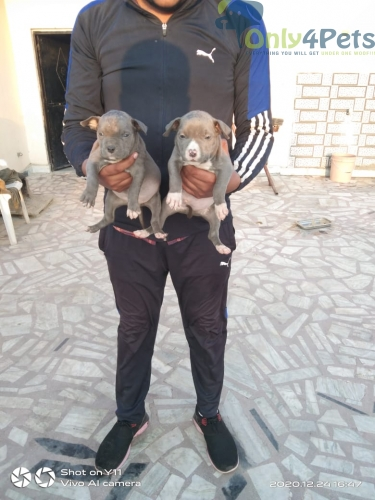 american Grey color male female available
