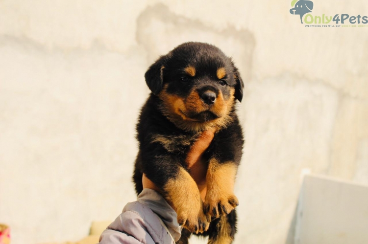 Rott male top quality puppy ????