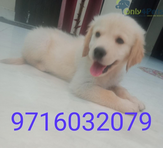 Golden retriever female puppy with vaccination card age 2.5month
