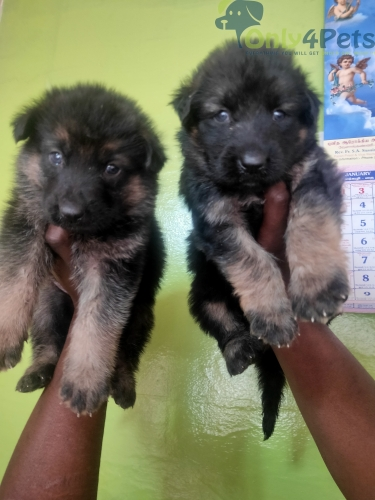 German Shepherd puppies available in Bangalore