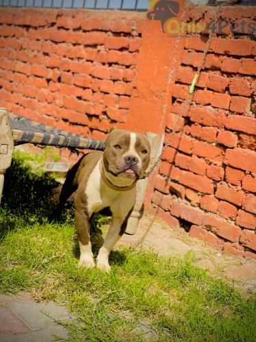 Am bully male 8 mnth old available