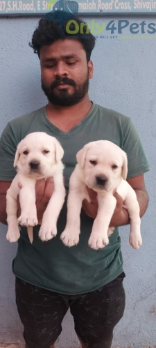 LABRADOR MALE AND FEMALE PUPPIES
