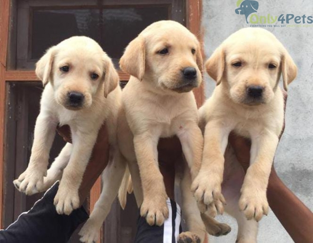 Top Quality????????Lab 3female Puppy For Sale