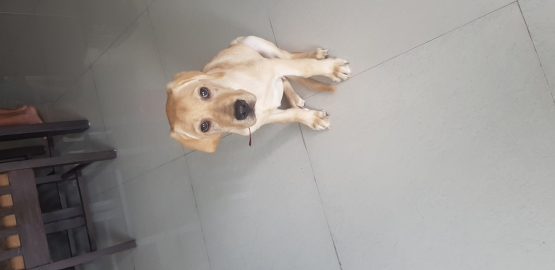 Four Months Labrador available for adoption