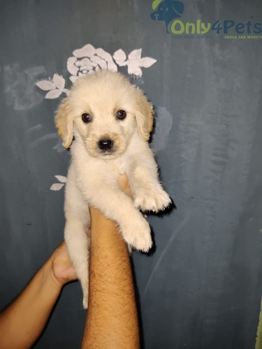 olden Retriever 2 Female Available Top Quality Extraordinary