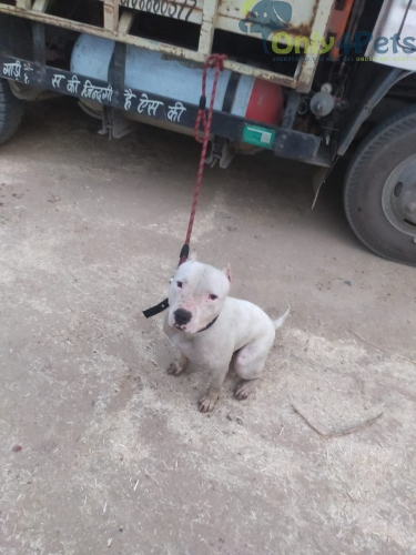 Available in a very cheap price and call only no meesage ( pitbull ) white colour
