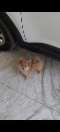 cultured pom for sale