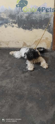 Top Quality Lhasa female fresh for Sale