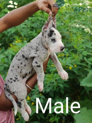Top quality Blue eyes Dane puppies Available