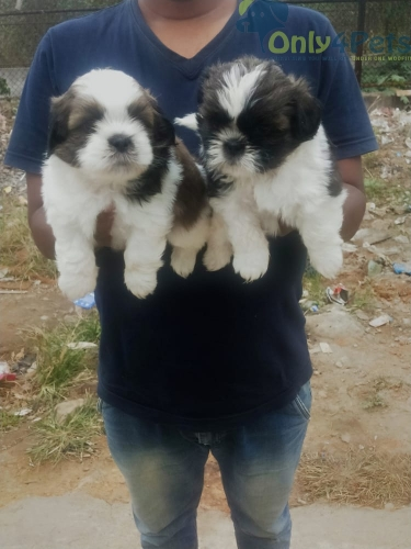 shihtzu puppies available in Bangalore