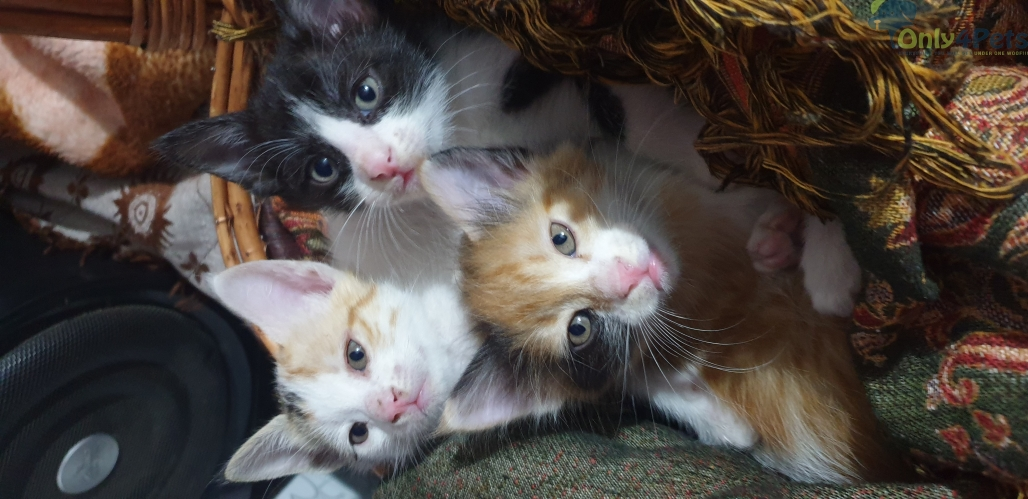 3 kittens for adoption