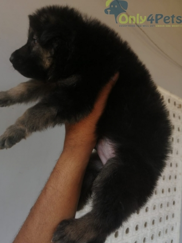 Heavy bone gsd puppies available