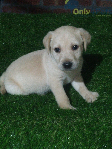 1 male lab for sale 35 day