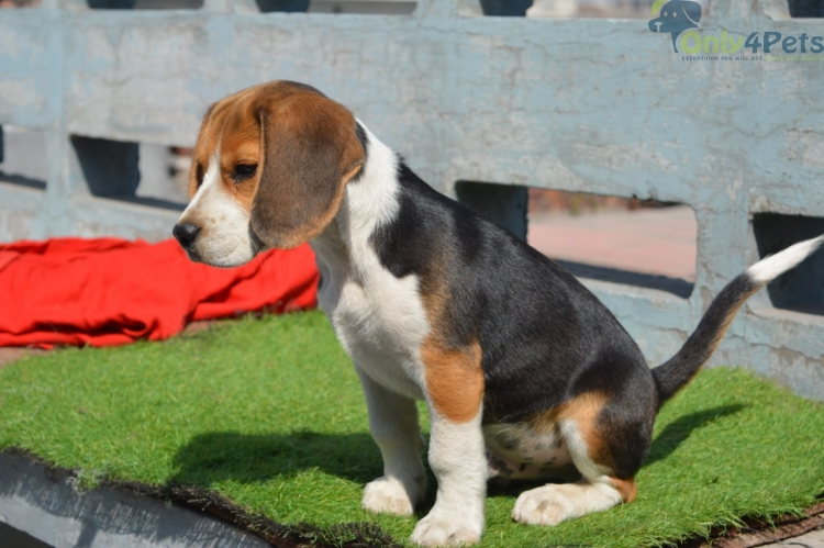 Beagle  for sale 3 month  male  sale  top  quality