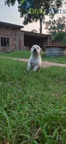 Top quality labrador female pup available