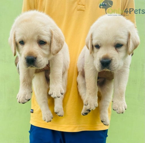 Good qwality lab      2 male puppy for sale