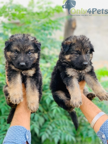 Double coat Gsd 2 male 2 female for sale