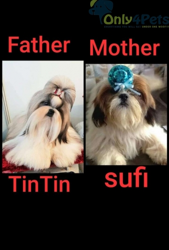 Shihtzu Top quality????  top Blood line Father Rusia import kci Puppy Available